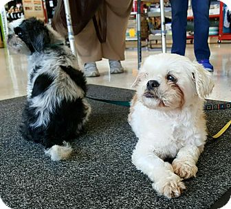 Shih Tzu Dog for adoption in Bridgewater, New Jersey - Juliet & Bella