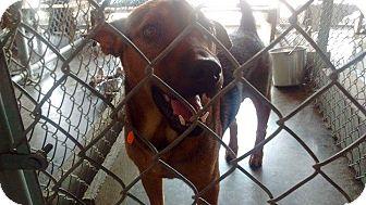 Hound (Unknown Type) Mix Dog for adoption in Livingston Parish, Louisiana - David