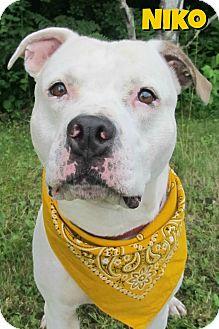 American Staffordshire Terrier Mix Dog for adoption in Menomonie, Wisconsin - Niko