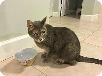 Domestic Shorthair Cat for adoption in Mesa, Arizona - MADDIE