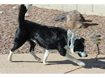Border Collie Mix Dog for adoption in Tempe, Arizona - Jake