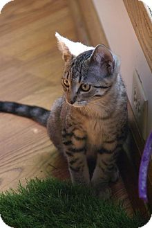 Domestic Shorthair Cat for adoption in Naperville, Illinois - Bella