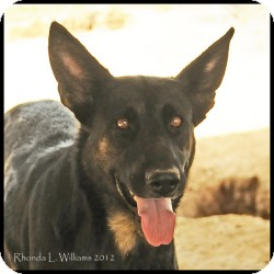 German Shepherd Dog Mix Dog for adoption in Quinlan, Texas - Whitney
