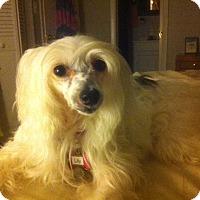 Adopt A Pet :: Lily (FL) - Gilford, NH