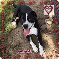 Border Collie/Pit Bull Terrier Mix Dog for adoption in Elgin, Illinois - Minnie