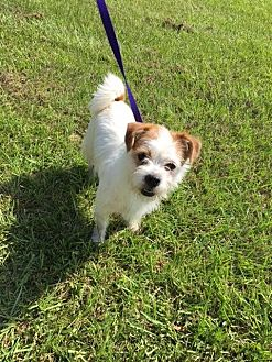 Shih Tzu/Westie, West Highland White Terrier Mix Dog for adoption in Baton Rouge, Louisiana - Ernie
