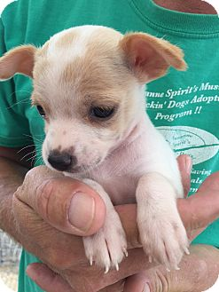 Boston Terrier/Chihuahua Mix Puppy for adoption in Corona, California - Bella Cuddles Puppy and Mom