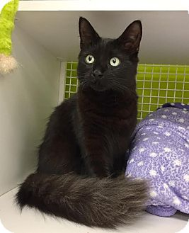 Domestic Mediumhair Kitten for adoption in Los Angeles, California - Theo