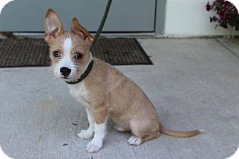 Terrier (Unknown Type, Small) Mix Puppy for adoption in Allentown, Pennsylvania - Dolla