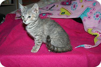 Domestic Shorthair Kitten for adoption in Santa Rosa, California - Annabelle