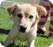 Golden Retriever/Collie Mix Dog for adoption in Allentown, Pennsylvania - Milly