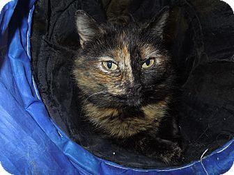 Domestic Shorthair Cat for adoption in Medina, Ohio - Wendy