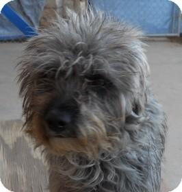 Schnauzer (Miniature)/Terrier (Unknown Type, Small) Mix Dog for adoption in dewey, Arizona - Eddie