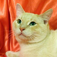 Domestic Shorthair Cat for adoption in St. Louis, Missouri - Poindexter