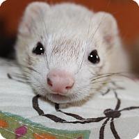 Adopt A Pet :: Luna - Chantilly, VA