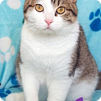 Domestic Shorthair Cat for adoption in St Louis, Missouri - Simon