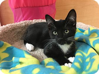Domestic Shorthair Kitten for adoption in Foothill Ranch, California - Pinto