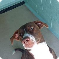 Adopt A Pet :: Coco - Manteo, NC