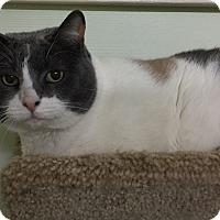 Snowshoe Cat for adoption in Encino, California - Callie