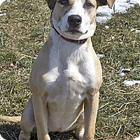 American Staffordshire Terrier Mix Dog for adoption in Mason, Michigan - Biscuits