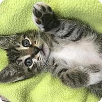 Adopt A Pet :: Kittens Black & White, Tabbies - Miami, FL