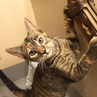 Domestic Shorthair Kitten for adoption in Tomball, Texas - Olivia
