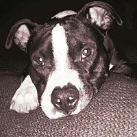 Adopt A Pet :: Sherman - Tampa, FL