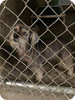 Schnauzer (Miniature) Mix Dog for adoption in Peru, Indiana - SOFIA