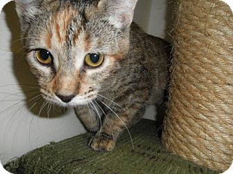 Domestic Shorthair Cat for adoption in Milwaukee, Wisconsin - Colonel