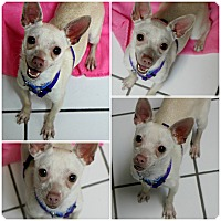 Adopt A Pet :: Blondy - Forked River, NJ