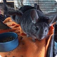 Adopt A Pet :: Cowboy - Grand Rapids, MI