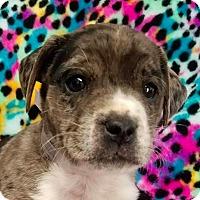 Adopt A Pet :: Aliya - New York, NY