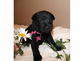 Labrador Retriever/Belgian Malinois Mix Puppy for adoption in Sinking Spring, Pennsylvania - Raven