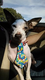 Chihuahua/Rat Terrier Mix Dog for adoption in Fowler, California - Dobby