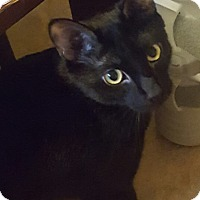 Adopt A Pet :: Blade (declaw) - Chattanooga, TN