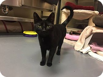 Domestic Shorthair Cat for adoption in Chicago, Illinois - Bobby