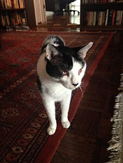 Domestic Shorthair Cat for adoption in Sunny Isles Beach, Florida - Rambo