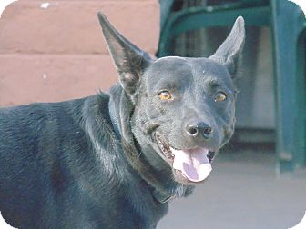 Miniature Pinscher/Flat-Coated Retriever Mix Dog for adoption in Las Cruces, New Mexico - Jazzie