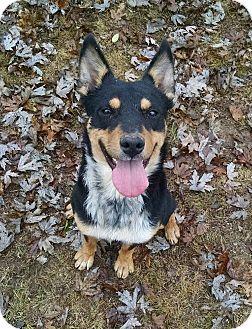 Cattle Dog/Doberman Pinscher Mix Dog for adoption in Ashburn, Virginia - Saint