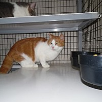 Domestic Shorthair Cat for adoption in Clarksville, Arkansas - Xerxes