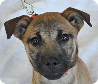 Shepherd (Unknown Type)/Boxer Mix Puppy for adoption in Atlanta, Georgia - Timber