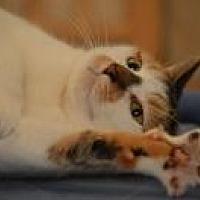 Adopt A Pet :: Amelia - Manchester, CT