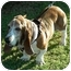 Photo 3 - Basset Hound Dog for adoption in Phoenix, Arizona - Oliver