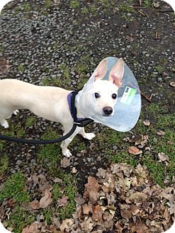 Chihuahua/Whippet Mix Dog for adoption in Wanaque, New Jersey - lulu