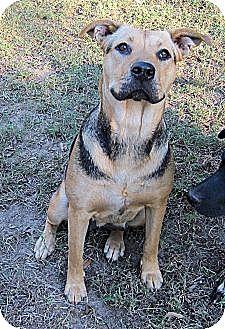 German Shepherd Dog/Labrador Retriever Mix Dog for adoption in Winnsboro, South Carolina - Lucy Shephard