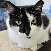 Domestic Shorthair Cat for adoption in Cumberland, Maine - Bessie