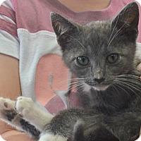 Adopt A Pet :: Bear - Reston, VA