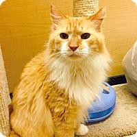 Domestic Longhair Cat for adoption in Arlington/Ft Worth, Texas - Tigger