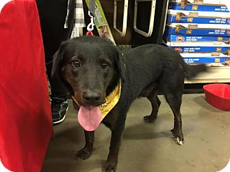 Flat-Coated Retriever Mix Dog for adoption in Rockville, Maryland - Puddles