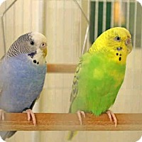Parakeet - Other for adoption in San Francisco, California - SHARLENE